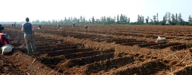 Aardappelteelt in Marokko